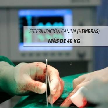 MÁS DE 40 Kg DE PESO, ESTERILIZACIÓN CANINA (HEMBRAS)