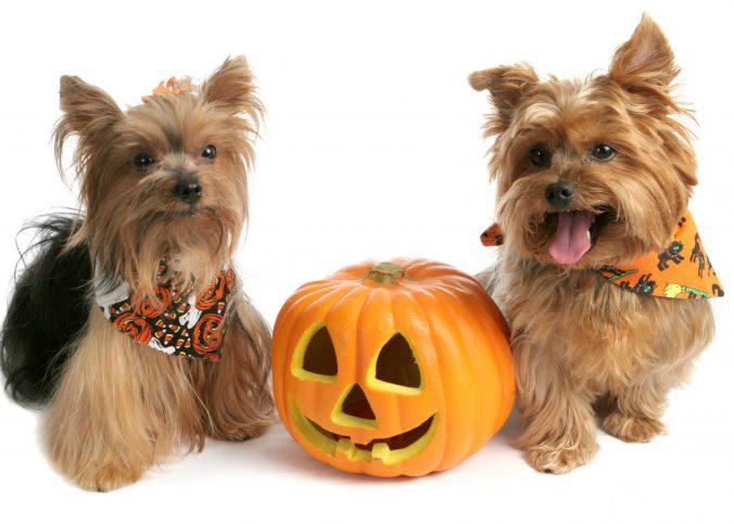 mascotas en halloween
