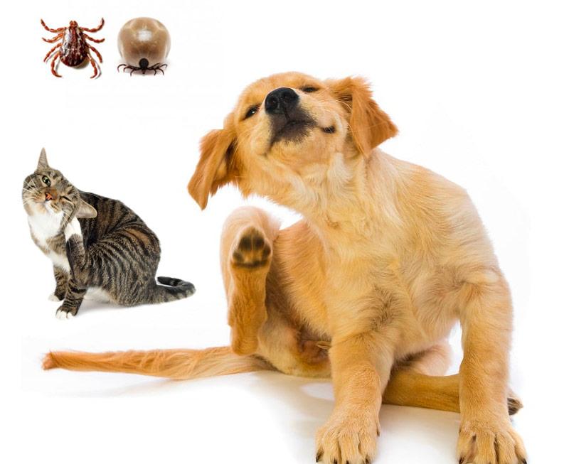 ¿Por qué son tan peligrosas las garrapatas en nuestras mascotas?